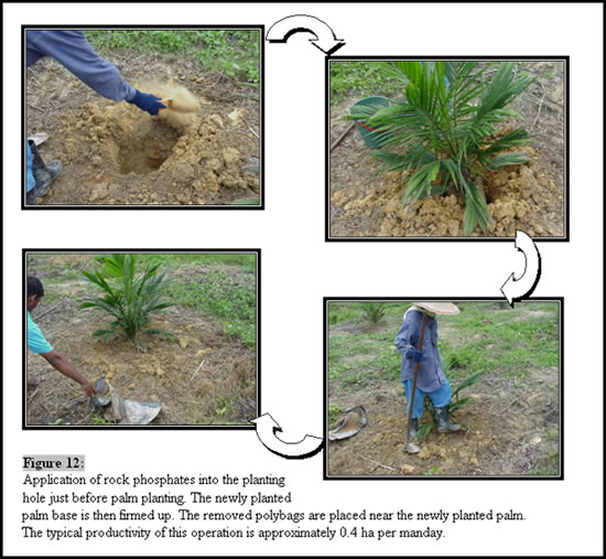 Oil Palm 171 Applied Agricultural Resources
