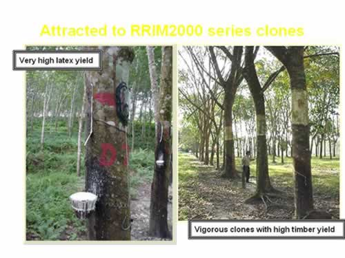 Rubber: Selection of Clones « Applied Agricultural Resources
